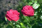 Tej rośliny nie trzeba przedstawiać - róża ogrodowa we własnej osobie! fot. Jan Bogacz