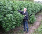 Marihuana warta miliony rosła na polu koło Torunia