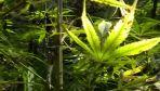 Zarzuty za posiadanie i uprawę marihuany