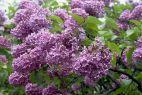 Zapaleni ogrodnicy dobrze wiedzą, że prawidłowa nazwa tej rośliny to lilak pospolity (fot. arch. TVP)